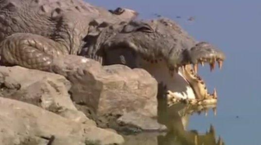 ძუ ვეფხვმა უზარმაზარი ნიანგი მოკლა