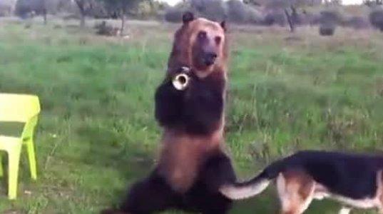 ასე გაწვრთვნილი დათვი არ მინახია.
