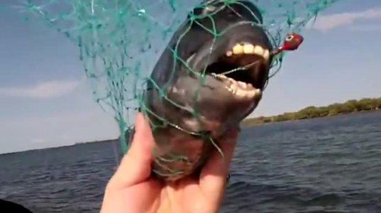 თევზი რომელსაც ადამიანის კბილები აქვს