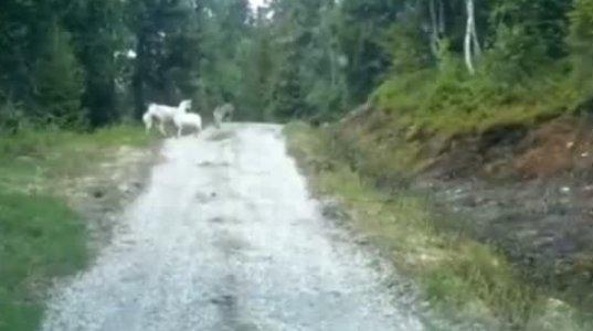 როგორ გააქცია დედა-ცხვარმა მშიერი მგელი