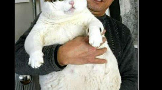 მსოფლიოში ყველაზე მსუქანი კატების ტოპ ხუთეული