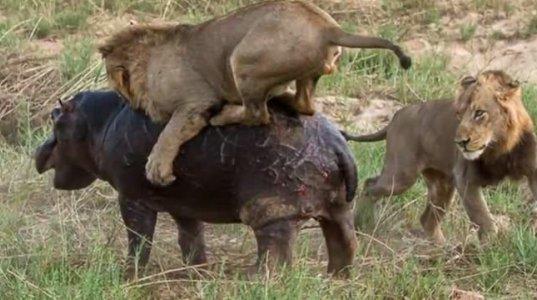 ლომი და ბეგემოტის ჩხუბის კადრები